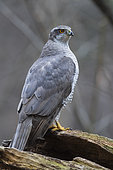 Northern Goshawk (Accipiter gentilis), adult standing on an old trunk, Podlachia, Poland