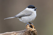 Marsh Tit (Poecile palustris), side view of an adult standing on a dead branch,, Podlachia, Poland