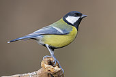 Great Tit (Parus major), side view of an adult standing on a dead branch, Podlachia, Poland