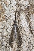 Dobson Fly (Corydalus sp) female on bark, Monterey County, California