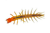 Aquatic, larval stage of a dobsonfly, also known as a hellgrammite, Shasta County, CA USA.