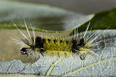 The Spotted Tussock Moth (Lophocampa maculata) is a member of the family Erebidae. The larvae feed on leaves of alder, willow and other hardwoods. It is found across Canada, the western parts of the United States, and south in the Appalachian Mountains to South Carolina and Kentucky.