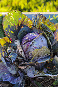 Red cabbage damaged by molluscs, in winter.