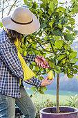 Femme récoltant des citrons 'Lunario'