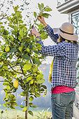 Femme taillant un citronnier 'Lunario'. Raccourcir les longues branches est indispensable pour conserver un sujet avec un port équilibré.