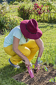 Woman planting a red cabbage plant in the spring.