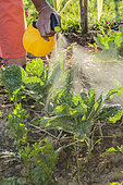 Woman spraying a plant extract (insecticide / insect repellent) on attacked cabbages in summer.
