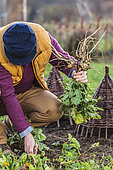 Harvest of parsnip (Pastinaca sativa) 'Round Hasty', an old variety with short roots dating back to 1800 and to be harvested in autumn or early winter.