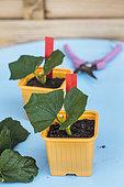 Cutting of Cranberrybushviburnum. Snowball cuttings (Viburnum opulus roseum) in a bucket.