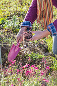Man planting an Ivy-leaved Cyclamen (Cyclamen hederifolium)