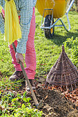 Autumnal cleaning of the garden: man weeding the soil between two rows of vegetables in autumn.