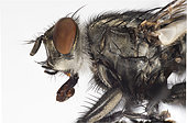 Flesh Fly. Flesh Fly close up utilizing 26 images focus stacked in Photoshop.