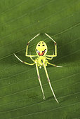 Hawaiian Happy Face Spider (Theridion grallator) is a spider in the family Theridiidae. Its Hawaiian name is nananana makaki'i (face-patterned spider). Photographed on big island of Hawaii.
