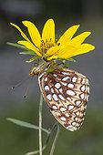 Northwestern Fritillary. Northwestern Fritillary (Speyeria hesperis) found at 10,000 ft. on Grand Mesa, Colorado, USA