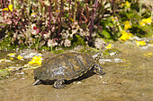 Southern Pacific Pond Turtle. The Southern Pacific Pond Turtle (Actinemys marmorata pallida) occurs from just south of San Francisco Bay to Baja California. These turtles do not start reproducing until 7-10 years of age. It is a species of special concern.