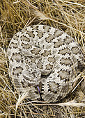 Northern Pacific Rattlesnake. Northern Pacific Rattlesnake (Crotalus oreganus) is a venomous pit viper species found in North America in parts of British Columbia, western United States and northwestern Mexico. Photographed in Carrizo Plain National Monument, San Luis Obispo County, California.