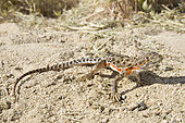Blunt-nosed Leopard Lizard. Blunt-nosed Leopard Lizard (Gambelia sila) is a species of lizard in the family Crotaphytidae. The species is endemic to Southern California and is listed as a federal and state endangered species.
