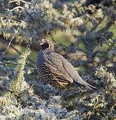 Male California Quail. Male California Quail (Callipepla californica), San Luis Obispo County, California.