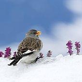 White-winged snowfinch (Montifringilla nivalis) in the snow, Tyrol, Austria, Europe