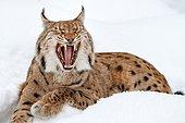 Eurasian lynx (lynx lynx), lying in the snow and yawning, winter, Bavaria, Germany, Europe