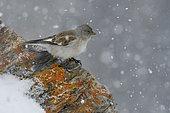 Snowfinch (Montifringilla nivalis) on rocks with snow, Tyrol, Austria, Europe