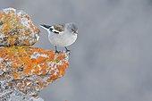 Snowfinch (Montifringilla nivalis) on rock, Tyrol, Austria, Europe