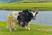 Yak (Bos mutus) standing by the river, Orchon Valley, Khangai Nuruu National Park, Archangai Aimag, Mongolia, Asia