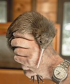 Animal keeper holding young Kiwi (Apteryx) in his hand, Otorohanga House, Waikato, North Island,New Zealand, Oceania