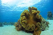 Mushroom Leather Coral (Sarcophyton trocheliophorum), Cebu, Visayas, Philippines, Asia