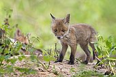 Red fox (Vulpes vulpes), puppy, young animal at the cave, curious, biosphere reserve Mittellelbe, Saxony-Anhalt, Germany, Europe