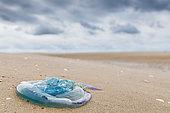 Moon Jellyfish (Aurelia aurita) stranded on a beach in summer, Hauts de France, France