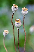 Opium Poppy (Papaver somniferum) capsules after flowering in summer, Hauts de France, France
