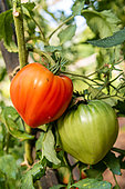 """Tomato (Solanum lycopersicum) """"heart of beef"""" in a kitchen garden, summer, Moselle, France"""