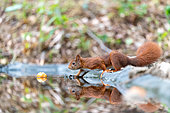 Red squirrel (Sciurus vulgaris) and its reflection in a pond in summer, Moselle, France