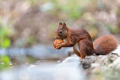 Red squirrel (Sciurus vulgaris) eating a nut in summer, Moselle, France
