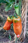 """Red Tomatoes (Solanum lycopersicum) red """"Andine cornue"""" in a kitchen garden in summer, Moselle, France"""
