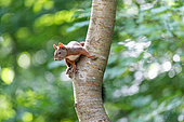 Red squirrel (Sciurus vulgaris) on the trunk of a cherry tree in summer, Moselle, France