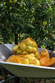 'Summer Delbard' apple fillets in a wheelbarrow in summer, Pas de Calais, France