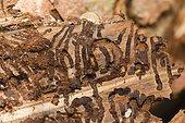 Bark beetle (Scolytinae) under the bark on a tree trunk, tree pest, Austria, Europe