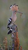 Hoopoe (Upupa epops) on perch with prey, mole cricket (Gryllotalpa gryllotalpa), Kiskunság National Park, Hungary, Europe