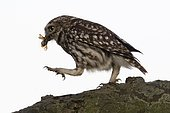 Little owl (Athene noctua) with captured cockchafer (Melolontha melolontha), Emsland, Lower Saxony, Germany, Europe