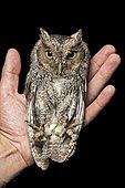 Peru Screech Owl (Megascops roboratus) on hand, Jorupe Nature Reserve, Western Andes, Ecuador, South America