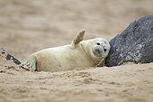 Grey seal (Halichoerus grypus), pup on a sandy beach, Norfolk, UK