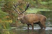 Red deer (Cervus elaphus), stag standing in a river, Surrey, England, United Kingdom, Europe