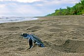 Pacific green turtle or green sea turtle (Chelonia mydas), juvenile on way to sea, Caribbean, Costa Rica, Central America