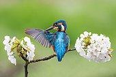 Kingfisher (Alcedo atthis) preening on blooming branch, wild cherry (Prunus avium), Hesse, Germany, Europe