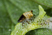 "Spittlebug (Genus Aphrophora) are named for the mass of ""spittle"" the larval stage excretes from epidermal glands near its anus. The foam is produced from juices of their host plant, in this case Coyote Brush (Baccharis pilularis), Santa Barbara County, California."