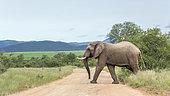 Eléphant de savane d'Afrique (Loxodonta africana) traversant une piste dans le parc national Kruger, Afrique du Sud