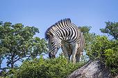 Zèbres des plaines (Equus quagga burchellii), parc national Kruger, Afrique du Sud