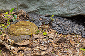 timber rattlesnakes, Crotalus horridus, Newborn young with adult females, Pennsylvania